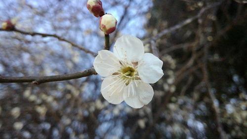 在梅邉 梅の樹の側で