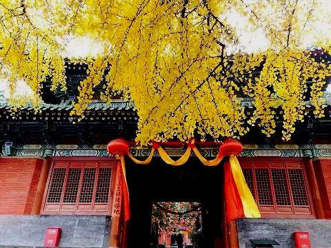 少林寺の銀杏